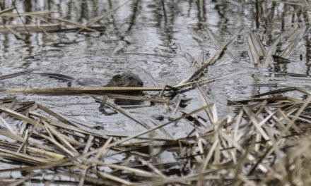 Chuck Gunn Captures a Beaver…